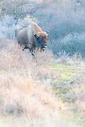 European Bison (Bison bonasus) walking in dune landscape