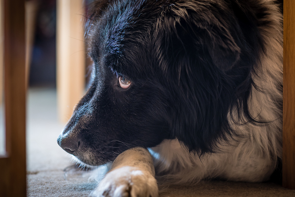 Close up portrait of a black dog under a table.