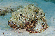 Spotted Scorpionfish (Scorpaena plumieri)<br /> BONAIRE, Netherlands Antilles, Caribbean<br /> HABITAT & DISTRIBUTION: Bottom dwellers on coral reefs.<br /> Florida, Bahamas, Caribbean, Gulf of Mexico, north to New York, Bermuda & south to Brazil.