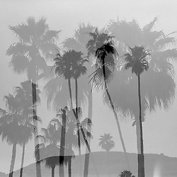 Palm trees in Laguna Beach, CA. Multiple exposure.
