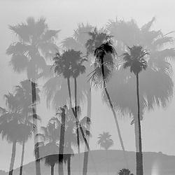 Palm trees in Laguna Beach, CA. Multiple exposure.