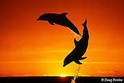 bottlenose dolphins, Tursiops truncatus (c-r)<br /> jumping in front of sunset  (dc),<br /> Bahamas ( Western Atlantic Ocean )