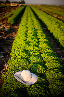 Farming in Oregon and Washington.  A worker's straw hat in a row of crops.  Lettuce farmer's hat.