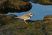 Semipalmated Plover photo Hawaii