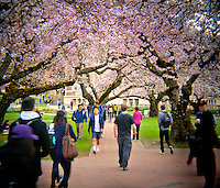 HL00011-00...WASHINGTON - Holga image of people walking under cherry trees blooming in the Quad at the University of Washington, Seattle.