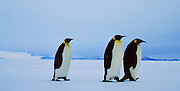 three penguins on a walk