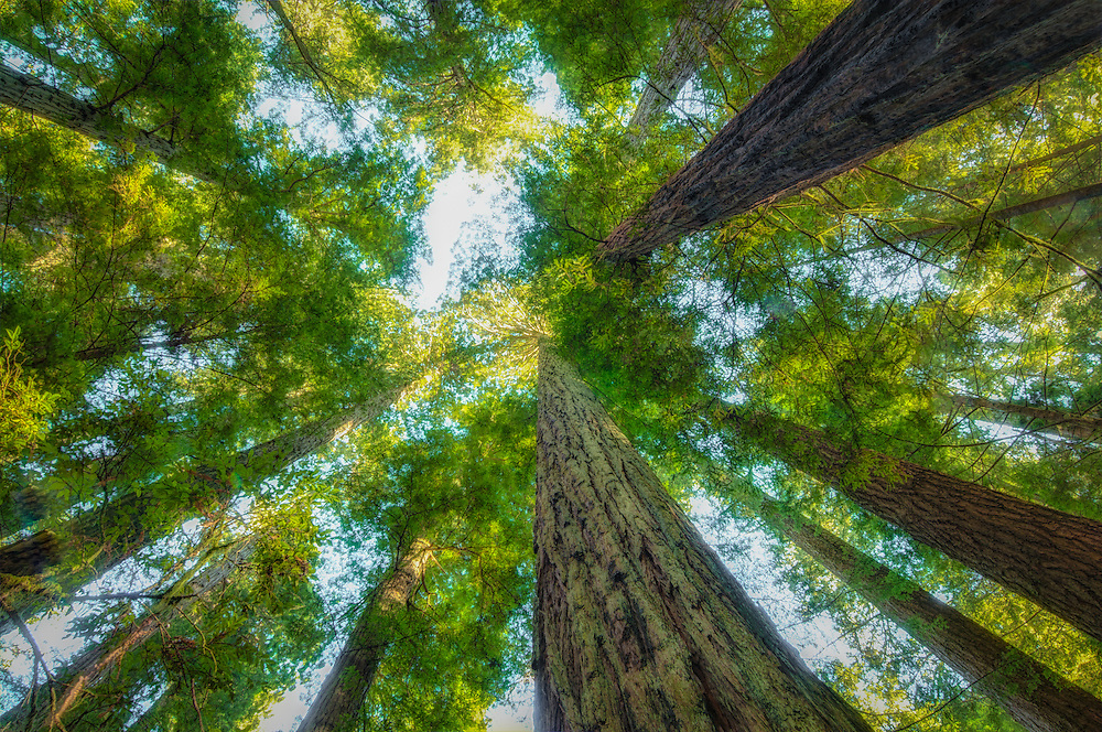 A view of the massive California redwoods as seen from below near the Pacific coast in Del Norte County, California. These sequoias can grow up to nearly 400' tall and reach an age of 1200-1800 years old. Luckily these ancient trees are protected, and the entire region is listed as a World Heritage site.