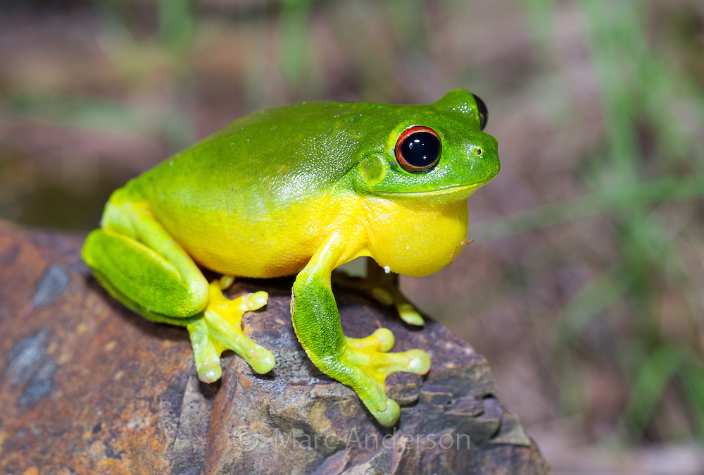 Australian Red-eyed tree frog (Litoria chloris), also known as Orange-eyed Tree frog, NSW, Australia