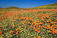 California Poppies,  Eschscholzia californica, Antelope Valley California Poppy Reserve, Lancaster, CA