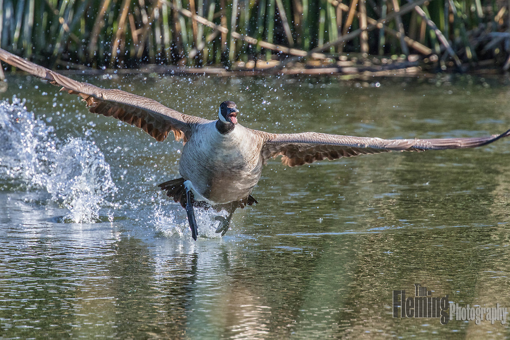 Canada goose taking off from Ellis Creek Water Recycling Facility, Petaluma, California