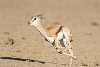 Springbok lamb running and leaping into the air, Kgalagadi Transfrontier Park, Northern Cape, South Africa
