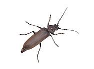Dusky Longhorn Beetle - Arhopalus rusticus