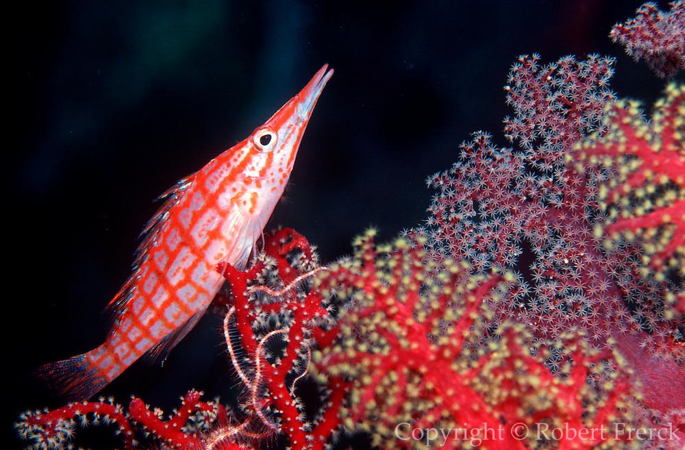UNDERWATER MARINE LIFE WEST PACIFIC, Fiji Islands FISH: Longnose Hawkfish Oxycirrhitus typus