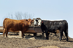Cattle graze on food, drink water and lounge around in the barn lot.