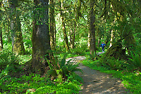 HIker walks the Kestner Homestead Trail, Quinault Rain Forest, Olympic National Park, Washington.