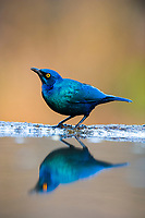 Cape Glossy Starling drinking, Zimanga Game Reserve, KwaZulu Natal, South Africa