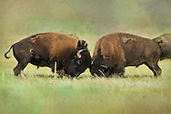 In wild herds, at about the age of seven the American buffalo bulls will begin to ascend the social ladder and compete for their right to breed in what is known as the summer rut. Combat between these massive bulls can result in serious injury and even death.