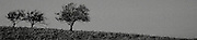 Stylised, grainy view of weathered,windblown trees, Southern Highlands, Australia