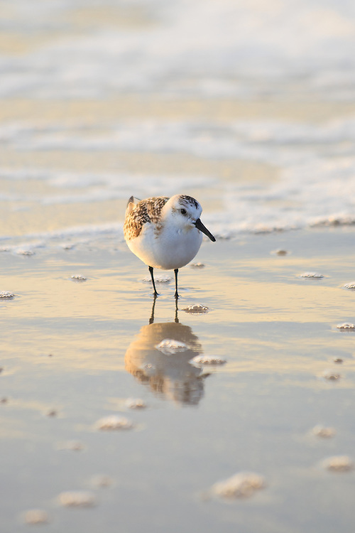 A sanderling (Caladris alba) is reflected in the receeding surf, Chincoteague National Wildlife Refuge, Assateague Island, Virginia.