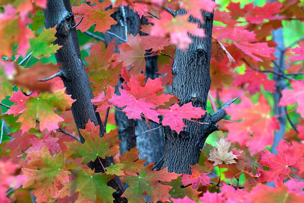 Red fall foliage on the Alpine Loop in the Uinta National Forest
