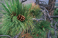 Pine cones on ponderosa pine, both green developing cones and opened cones on the same branch tip, Jemez Mountains, NM, © 1999 David A. Ponton