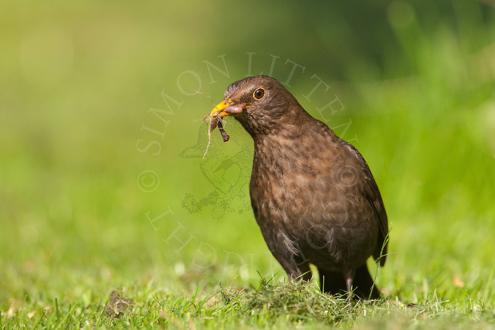 European Blackbird (Turdus merula) adult female gathering worms, UK.
