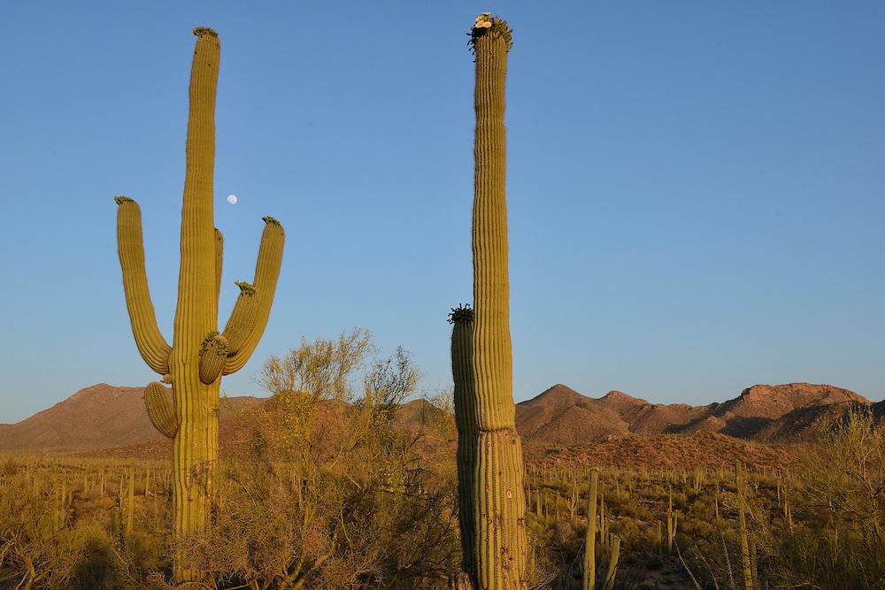 USA; Arizona; Desert Southwest,Saguaro National Park, saguaro cactus in bloom