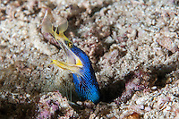 A Blue Ribbon Eel peers from its burrow in the seafloor<br /> <br /> <br /> <br /> Shot in Indonesia