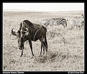 Staring Wildebeest.Maasai Mara, Kenya.September 2012