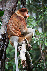 A dominant male proboscis monkey (Nasalis larvatus) in a tree in Tanjung Puting National Park, Central Kalimantan, Borneo, Indonesia