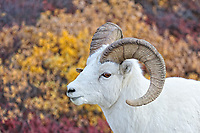 Dall Sheep. Image taken with a Nikon D3 camera and 80-400 mm VR lens (ISO 900, 122 mm, f/4.8, 1/1000 sec).