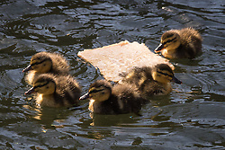 "© Licensed to London News Pictures. 16/03/2015. London, UK. Ducklings swim around a slice of uneaten bread floating on a canal in Wapping, east London. The Canal and River Trust has just launched a campaign to stop people feeding bread to ducks and say it is ""junk food"" for ducks and causes algae, disease and rats. Image date: 7th March 2015. Photo credit : Vickie Flores/LNP"