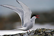 Arctic Tern (Sterna paradisaea) breeding at Norskeöya, Spitsbergen, Svalbard.