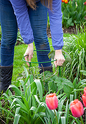 Staking perennials - Japanese anemones - in a border using plastic coated metal hoops