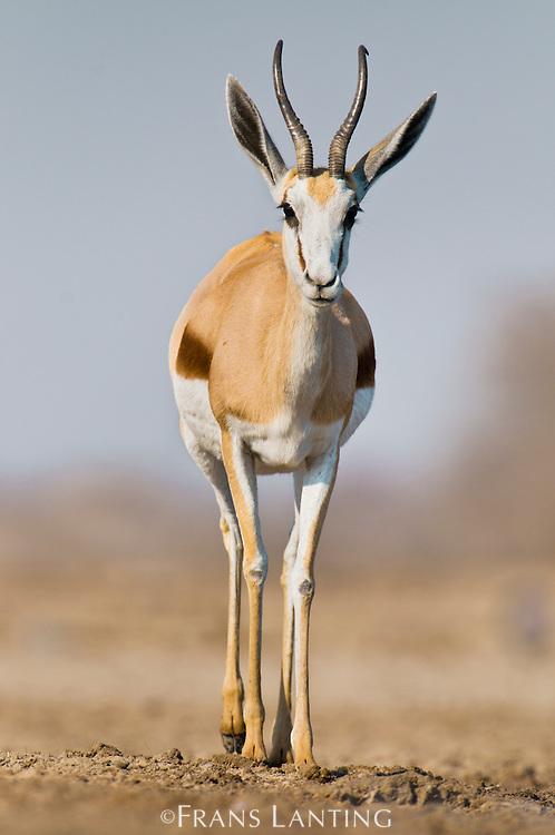 Springbok, Antidorcas marsupialis, Etosha National Park, Namibia