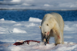 FRESH KILL – Polar bear (Ursus maritimus) in Svalbard