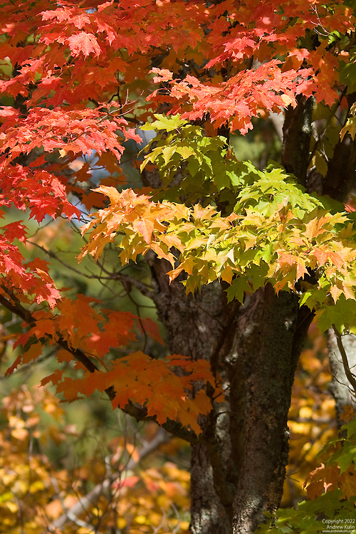 Maple Tree in fall colors exhibiting shades from green to orange to red - at Lake of Two Rivers, Algonquin Provincial Park.