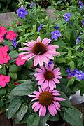 Echinacea flowers in a garden Lanesboro Minnesota MN USA