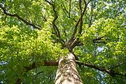 college green, Mapp Athens, summer, Tree Tour, pin oak
