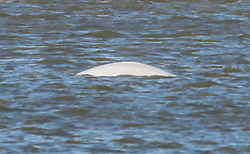 © Licensed to London News Pictures. 11/10/2018. London, UK. Benny the beluga whale briefly sufaces in the River Thames between Gravesend and Tilbury. The whale is still stuck in the same spot on the river east of London after two weeks. Photo credit: Graham Long/LNP