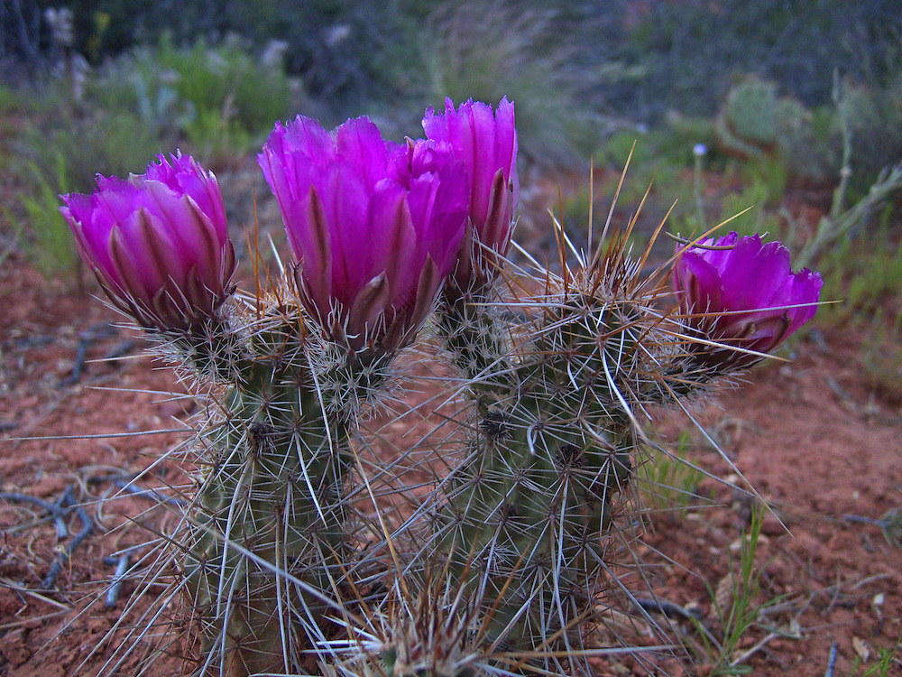 Echinocereus fasciculatus - Pinkflower Hedgehog Cactus wildflowers in Sedona producing this extraordinary pair of Cacti.
