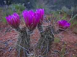 Echinocereus fasciculatus - Pinkflower Hedgehog Cactus wildflowers in Sedona producing this extraordinary pair of Cacti.