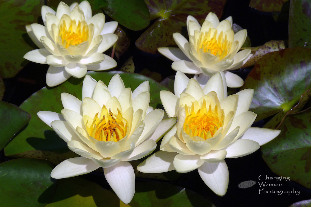 "Four hardy waterlilies blooming amid variegated leaves feature cream sepals, creamy yellow petals, and bright yellow anthers characteristic of the ""Marliacea Chromatella"" cultivar found at Longwood Gardens, July 2010."