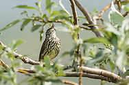 Waterthrush (Parkesia noveboracensis) singing on willow  outside of Nome on the Seward Peninsula in Northwest Alaska. Spring. Afternoon.