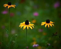 Coneflower. Image taken with a Nikon D5 camera and 80-400 mm VRII lens