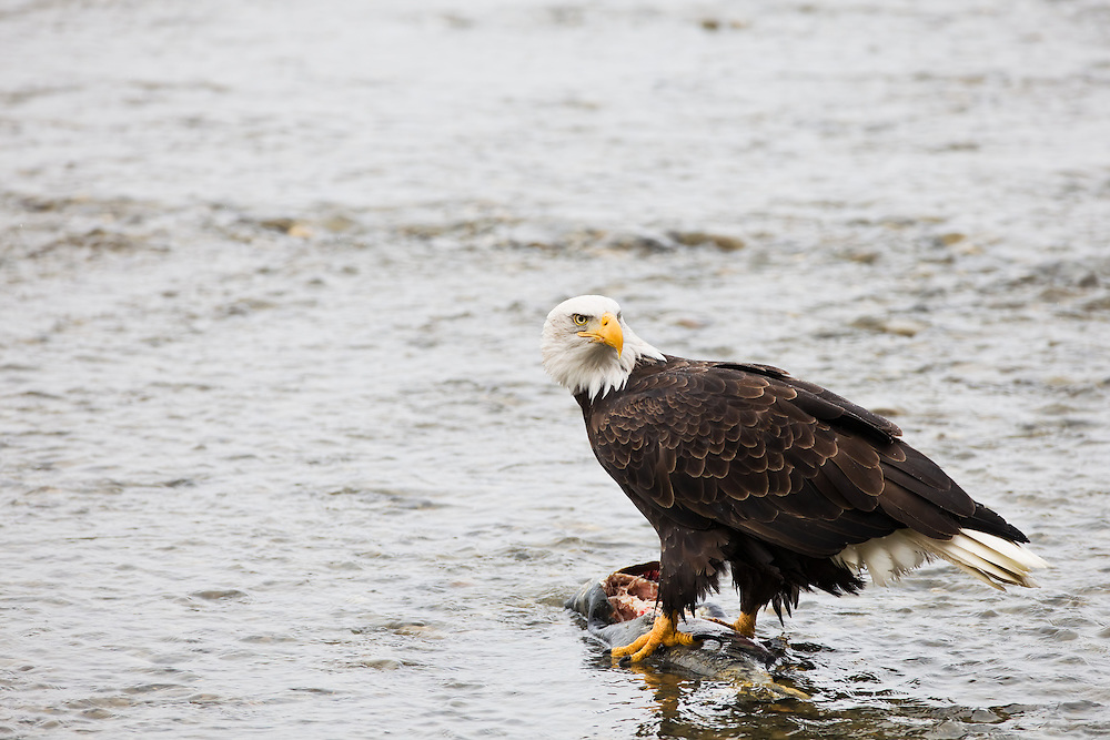 A bald eagle (Haliaeetus leucocephalus) watches for other eagles as it feeds on a chum salmon from the Chilkat River in the Chilkat Bald Eagle Preserve near Haines in Southeast Alaska. Winter. Morning.
