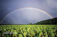 Rainbow over the Hanalei taro