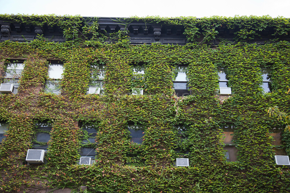 ivy covering a building in New York City