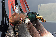 Close-up of drake Redhead, Canvasback, and Mallards on a duck strap.