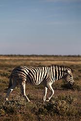 NAMIBIA ETOSHA 29APR14 - A lone Zebra grazes in the Etosha pan near Okaukuejo, Etosha National Park, Namibia. <br /> <br /> <br /> <br /> jre/Photo by Jiri Rezac<br /> <br /> <br /> <br /> © Jiri Rezac 2014